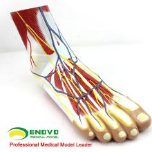 MUSCLE12(12036) человеческой стопы Подошвенные мышцы Анатомия модель в 3-х частях 12036