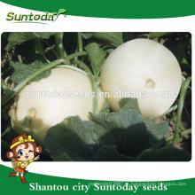 Suntoday Fácil escolha rodada forma muito suave carne venda vegetal híbrido F1 melão sementes harvester vegetal (18013)