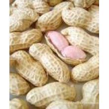 2015new Crop Fresh Peanut in Shell