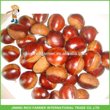 O Delicious Fresh Dandong Chinese Chestnut