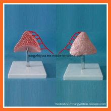 Modèle médical anatomique de la glande surrénale humaine