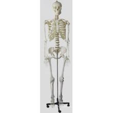 Modelo Médio de Skelecton