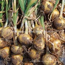 AON011 Huangyan madurez temprana semillas de cebolla híbrida precio