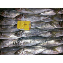 BQF New Season 16+ 18+ Frozen Horse Mackerel Whole Round fish price