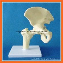 Modèle anatomique humain de squelette de joint de hanche de simulation pour l'enseignement médical