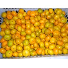 Sweet Baby Fresh Mandarin Oranges 3 - 5.5 cm , 10.58 g Suga Model No:O104  Min. Order:1  Sweet Baby Fresh Mandarin Oranges 3 - 5.5 cm , 10.58 g Sugars , Fresh Fruit Quick Detail: Style: Fresh Product Type: Citrus Fruit Type: Orange Cultivation Type: Commo