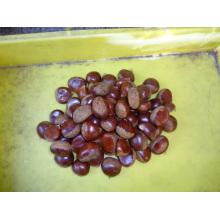 Hot Sale Fresh Chestnut