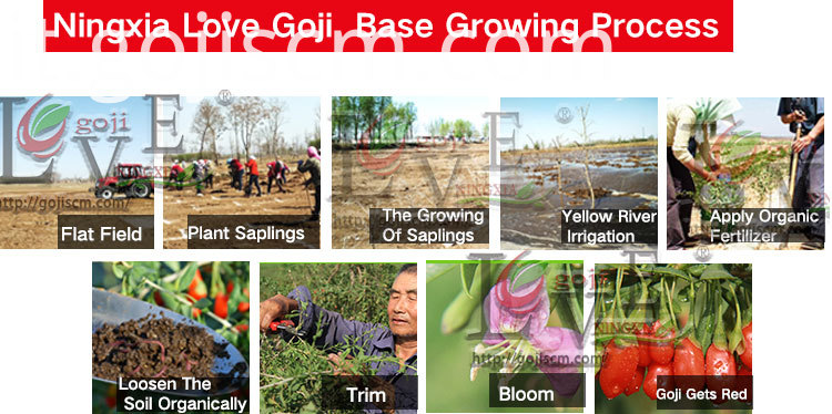 New Natural Goji Berry growing process