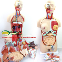 TUNK ANATOMY 12015 Plastic 29 Parts , 85cm Medical Education Tool Torso Anatomy Dual-Sex Models