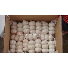 Выберите Китай Чеснок 3p 10kg / Carton