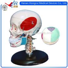 Modelo de crânio de plástico ISO com ossos e músculos coloridos