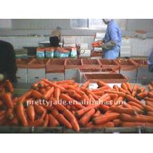 Zanahoria preminum para la exportación