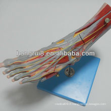 ISO Muscles of Foot Model avec les principaux navires et nerfs, Anatomie musculaire