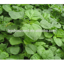 MAM022 Цинлун ранней зрелости зеленого китайского семена амаранта для посева
