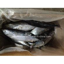 Gran tamaño nuevo captura de pescado Bonito para el mercado