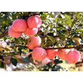Lowest Price Red Fuji Apple Excellent Quality Best Price 2021