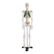 Squelette de 85 cm avec nerfs spinaux