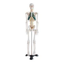 85 см скелет с Спинномозговых нервов