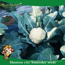 Suntoday Código de hortalizas blancas hs cohorte Brassica oleracea Brassicaceae coliflor semillas de hortalizas (A41001)