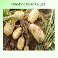 New Crop Chinese Potato with Good Quality