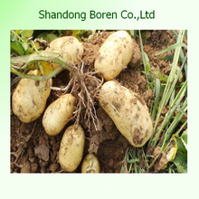 Shandong Boren Good Quality Fresh Potato