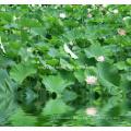 Extrait de feuille de lotus Nuciferine 2% par HPLC, 10: 1