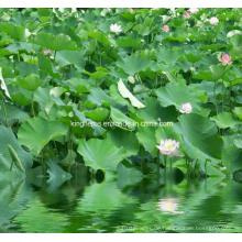 Lotusblatt Extrakt Nuciferin 2% durch HPLC, 10: 1