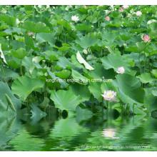 Lotus Leaf Extract Nuciferine 2% by HPLC, 10: 1