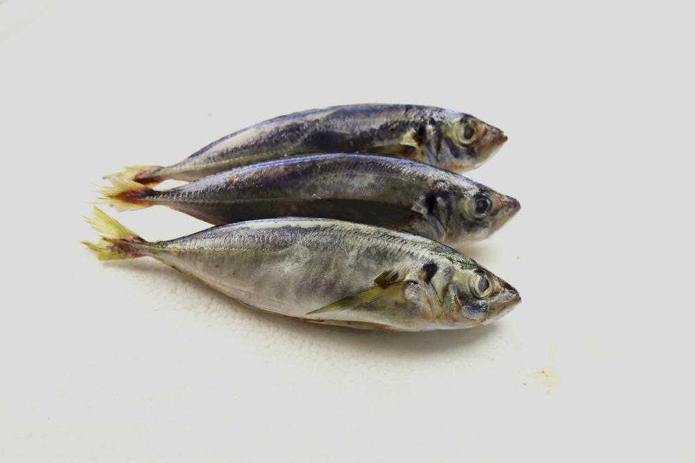 Most Popular Frozen Scad Mackerel