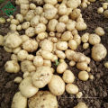 Bangladeshi New Corps-2018 frische Kartoffel für Chips