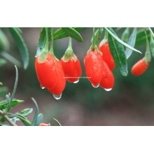 Dired Goji Berry From Ningxia China (0007)