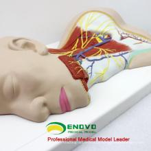 BRAIN20 (12418) Ciência Médica Nervos Humanos Modelo Anatômico