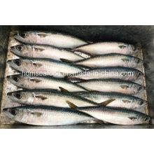 Хорошее качество Замороженная рыба для тихоокеанской скумбрии
