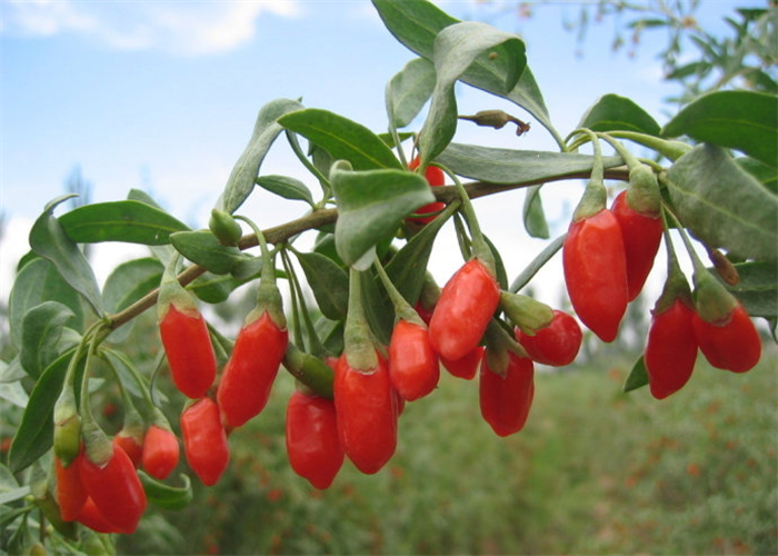 Bulk Wholesale High Quality Ningxia goji berry/wolfberry