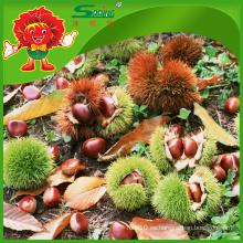 Nuevas castañas frescas sazonadas Castañas chinas saludables