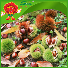 Top Quality Raw Sweet Chestnuts