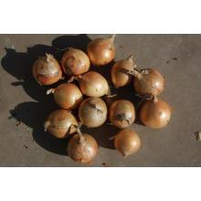 Exportación de buena calidad Fresh Chinese Yellow Onion