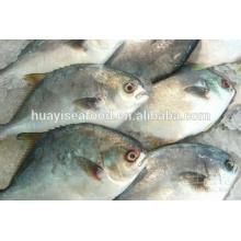 IQF New Arrival Frozen Golden Pompano Fish bon fournisseur chinois
