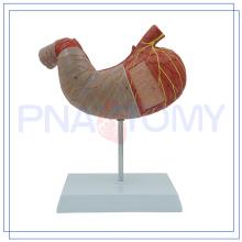 PNT-0460 Ampliado modelo de estômago humano de 2 partes