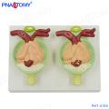 PNT-0760 urine protein kidney anatomical model