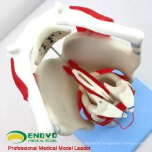THROAT03(12507) Functional Larynx Model, 3 time Full Size Enlarge, Ear-Eye-Nose-Throat Models > Larynx Models