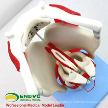 THROAT03(12507) функциональная модель гортани, 3 раза в полный размер увеличить, ухо-глаз-нос-горло модели > модели гортани