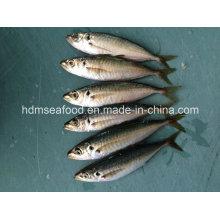 Suministro de productos acuáticos congelados de caballa pescado de caballa