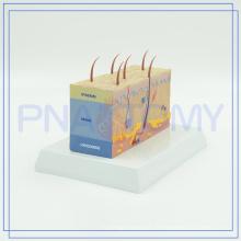 Nouveaux modèles de peau humaine en plastique d'arrivée de PNT-0554 pour des approvisionnements d'école à vendre