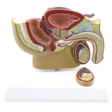 ANATOMY19 (12457) Desktop Kleines männliches Beckenmodell Mittlerer Sagittalschnitt mit Prostata für Arzt-Geschenk