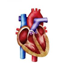 (D-Ribose) -Amélioration de la fonction cardiaque D-Ribose