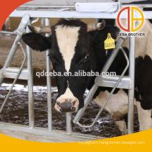 4 Cows Cow Headlocks