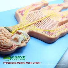 BRAIN19 (12417) Modelo do Sistema Nervoso, Simulador Humano (Modelo Médico, Modelo Anatômico)