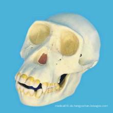 Schimpanse menschlichen Schädel Kopf Skelett Modell für medizinische Lehre