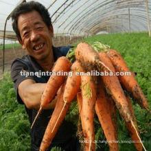 China neue Ernte Karotte